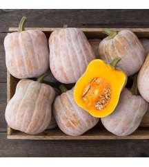 AUTUMN FROST F1 SPECIALTY BUTTERNUT SQUASH